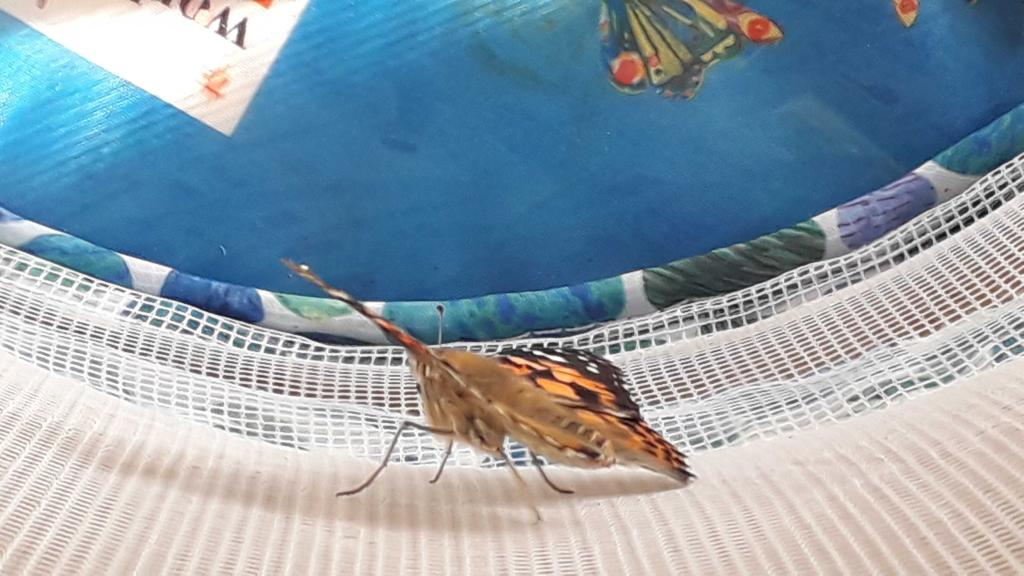 We, in room 6, have been observing Painted Lady Butterflies grow - today it was time to set the stage 4 insects free!